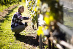 In this Thursday, Sept. 19, 2019, photo, Heather Leach, an entomologist who does lanternfly outreach at Penn State Extension inspect grape vines in Kutztown, Pa. The spotted lanternfly has emerged as a serious pest since the federal government confirmed its arrival in southeastern Pennsylvania five years ago this week. (AP Photo/Matt Rourke)