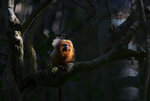 A Golden Lion Tamarin sits on a tree in the Atlantic Forest region of Silva Jardim in Rio de Janeiro state, Brazil, Thursday, Aug. 6, 2020. A recently built eco-corridor will allow these primates to safely cross a nearby busy interstate highway that bisects one of the last Atlantic coast rainforest reserves. (AP Photo/Silvia Izquierdo)