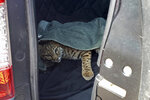 In this photo taken Wednesday, Sept. 18, 2019, provided by Colorado Parks and Wildlife, an injured bobcat stares from the back of an SUV after a Colorado Springs, Colo., woman placed it in her car, just inches away from where her child was sitting in a safety seat. The woman was trying to help the cat, which was possibly hit by a vehicle, but the agency says the cat posed a threat to her and her boy and that it's better to let officials handle injured wildlife, especially predators like bobcats. (Colorado Parks and Wildlife via AP)