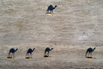 Camels cast shadows as they walk near the West Bank village of Al Fasayil, in the Jordan Valley, Tuesday, June 30, 2020. (AP Photo/Oded Balilty)