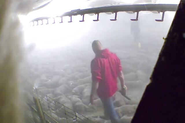 This image taken from a May 19, 2020, video provided by Direct Action Everywhere, shows workers in Grundy County, Iowa, walking among carcasses and using bolt guns to kill pigs that remain alive after they had been exposed to heat in an effort to euthanize the animals. Meatpacking plants that had to close due to coronavirus outbreaks have been running for weeks, but production backlogs are forcing farmers to euthanize thousands of hogs that can't be processed, drawing complaints from animal welfare advocates. (Direct Action Everywhere via AP)