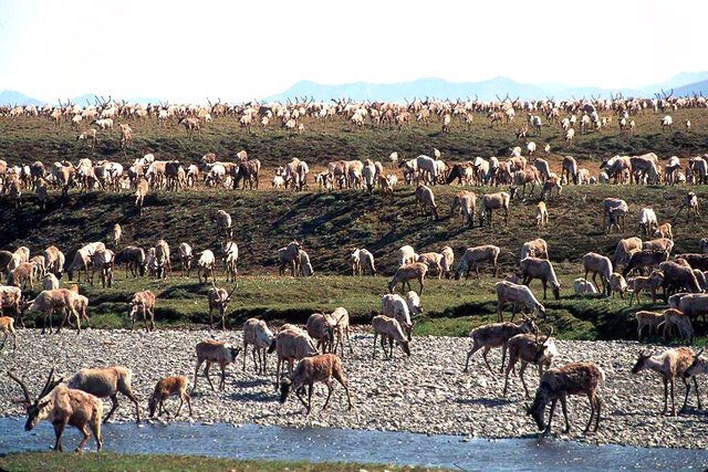 FILE - In this undated file photo provided by the U.S. Fish and Wildlife Service, caribou from the Porcupine caribou herd migrate onto the coastal plain of the Arctic National Wildlife Refuge in northeast Alaska.  The U.S. government held its first-ever oil and gas lease sale Wednesday, Jan. 6, 2021 for Alaska's Arctic National Wildlife Refuge, an event critics labeled as a bust with major oil companies staying on the sidelines and a state corporation emerging as the main bidder. (U.S. Fish and Wildlife Service via AP, File)