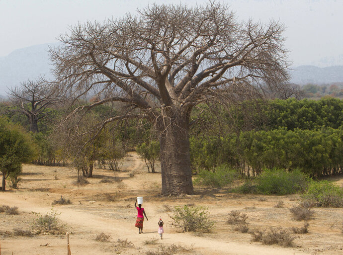 In this photo taken Wednesday, Sept. 20, 2017, a woman and child walks alongside a giant baobab tree in Chimanimani, Zimbabwe. Africa's ancient baobab, with it's distinctive swollen trunk and known as the