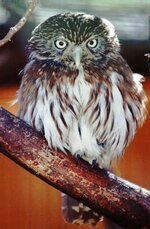 FILE - In this Jan. 16, 1998, file photo, pygmy owls, similar to this one shown at the Arizona-Sonora Desert Museum in Tucson, Ariz., that make their nest inside cavities of Arizona's saguaro cactus have a new chance for federal protection. The Tucson-based Center for Biological Diversity said Thursday, Nov. 14, 2019, an Aug. 5, 2021 deadline is set for the U.S. Fish and Wildlife Service to decide if the cactus ferruginous pygmy owl should be protected again as an endangered species. (AP Photo/John Miller, File)