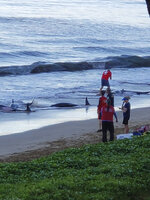 This photo provided by Kari Plas shows whales stranded on a beach in Kihei, Hawaii, on Thursday, Aug. 29, 2019. Five whales died, including four that were euthanized, after a mass stranding Thursday on a beach on the Hawaii island of Maui. (Kari Plas via AP)