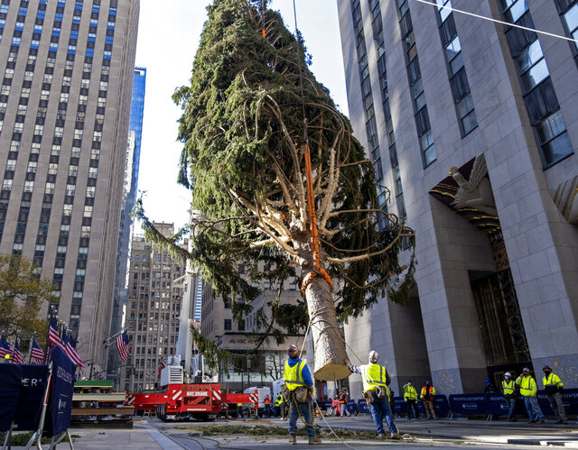 The 2020 Rockefeller Center Christmas tree, a 75-foot tall Norway Spruce that was acquired in Oneonta, N.Y., is suspended by a crane as its is prepared for setting on a platform at Rockefeller Center Saturday, Nov. 14, 2020, in New York. (AP Photo/Craig Ruttle)