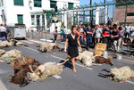 FILE - In this Sept. 2019 file photo, a woman walks among dead sheep, after farmers protesting against the rising bears attacks on sheep herds in Pyrenees mountains left the sheep in the sub-prefecture of Bayonne, southwestern France. Farmers who raise sheep for milk and meat high in the Pyrenees mountains are rejoicing after French President Emmanuel Macron promises them that he'll not authorize the release into the wild of any more bears responsible for increasingly deadly attacks on herders' flocks. (AP Photo Bob Edme, File)