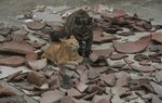 In this Feb. 12, 2020 photo, cats rest amid pieces of broken vessels from a previous Inca culture that were discovered during the digging for a natural gas line through the Puente Piedra neighborhood of Lima, Peru. About 300 archaeological finds, some 2,000 years old, have been reported over the past decade during the building of thousands of kilometers (miles) of natural gas pipelines in the capital. (AP Photo/Martin Mejia)