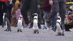 """This image released by Netflix shows a scene from the eight-part series """"Penguin Town,"""" debuting Wednesday. (Netflix via AP)"""