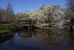 Cherry trees blossom at the empty, world-renowned, Dutch flower garden Keukenhof which was closed because of the coronavirus, in Lisse, Netherlands, Thursday, March 26, 2020. Keukenhof will not open this year after the Dutch government extended its ban on gatherings to June 1 in an attempt to slow the spread of the virus. Instead of opening, it will allow people to virtually visit its colorful floral displays through its social media and online channels. The new coronavirus causes mild or moderate symptoms for most people, but for some, especially older adults and people with existing health problems, it can cause more severe illness or death. (AP Photo/Peter Dejong)