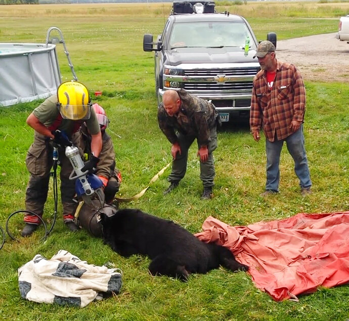 In this Sept. 7, 2018, photo provided by Dawn Knutson, rescue personnel use the Jaws of Life to free a black bear after its head became stuck inside a 10-gallon milk can near Roseau, Minn. (Dawn Knutson via AP)