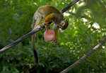 A Squirrel Monkey tries to get food out of a frozen treat hung for him by zookeepers at the Phoenix Zoo, Tuesday, July 16, 2019, in Phoenix. The National Weather Service has issued an excessive heat warning to take effect until Wednesday night. The Phoenix Zoo use spraying, frozen treats and shaded area's to keep their animals cool. (AP Photo/Matt York)