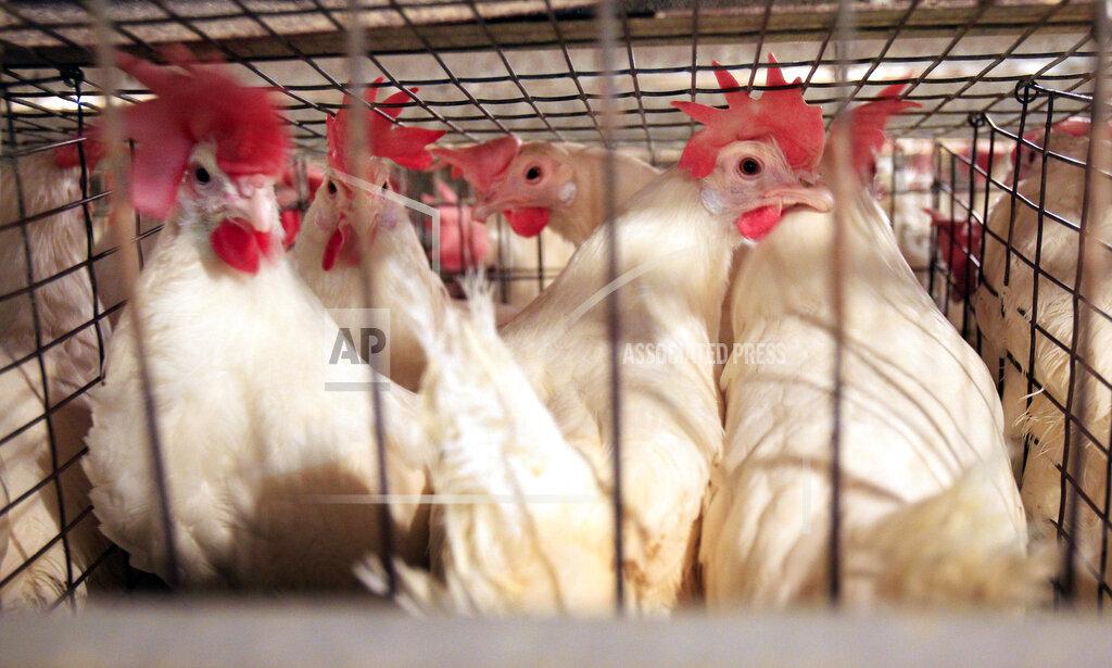 Egg Farm Probe