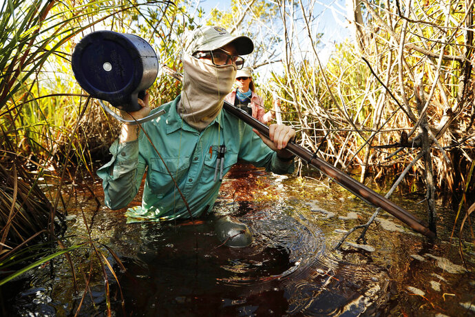 In this Wednesday, Oct. 30, 2019 photo, Austin Pezoldt carries gear through mucky water while assisting in a study of peat collapse in a coastal saw grass marsh at Everglades National Park, Fla. (AP Photo/Robert F. Bukaty)