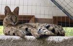 In this Sept. 12, 2020, image made from video provided by Dean King, Spartacus his pet exotic African serval cat, reclines in his cage at King's home in Merrimack, N.H. The 40-pound (18-kilogram) cat has been found safe and sound after escaping from his home on Wednesday, Sept. 9, 2020, and spending days in the New Hampshire wild. (Dean King via AP)