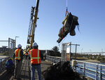 This Nov. 20, 2019 photo provided by Oregon State University shows crews lift the skull of a blue whale skeleton from the water in Yaquina Bay, Newport, Ore. The carcass of a giant blue whale that's been submerged off the Oregon coast for more than three years was hauled to the surface so it can be reassembled, studied and put on public display, scientists with Oregon State University said Friday. The dead whale, which was about as long as two school buses, washed ashore near Gold Beach, Oregon in 2015. It's exceptionally rare to see an intact blue whale carcass wash ashore and the only other documented case happened more than 200 years ago, when the Lewis and Clark expedition noted that they saw Native Americans salvaging edible parts from a blue whale, said Bruce Mate, emeritus director of Oregon State University's Marine Mammal Institute. (Michelle Klampe/Oregon State University via AP)