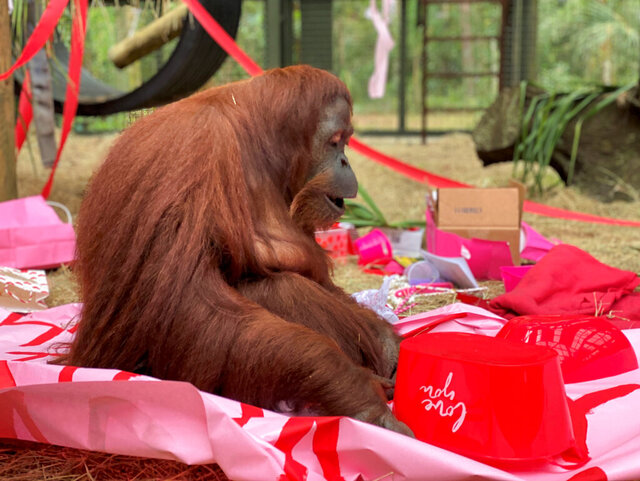 "This Feb. 15, 2020 photo courtesy of the Center for Great Apes shows an orangutan named Sandra in Wauchula, Fla. Sandra, who was granted legal personhood by a judge in Argentina and later found a new home in Florida, celebrated her 34th birthday on Valentine's Day with a special new primate friend. Patti Ragan, director of the Center for Great Apes says Sandra has ""has adjusted beautifully to her life at the sanctuary"" and has befriended Jethro, a 31-year-old male orangutan. (The Center for Great Apes via AP)"