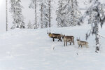 In this Wednesday, Nov. 27, 2019 photo, reindeer roam the forest close to a weather station near Kiruna set up by Stockholm University where a collaboration between reindeer herders and scientists is attempting to shed light on dramatic weather changes and develop tools to better predict weather events and their impacts.  Unusual weather patterns in Sweden's arctic region seem to be jeopardising the migrating animals' traditional grazing grounds, as rainfall during the winter has led to thick layers of snowy ice that block access to food. (AP Photo/Malin Moberg)