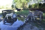 Tator, a Great Pyrenees and Epic Farm's two donkeys take advantage of the overflowing water trough for their morning drink on the grounds of the farm Friday, Oct. 30, 2020. Jessie Miller runs Epic Farm, a farm animal rescue facility located on Lem Turner Road on Jacksonville's far north side. Miler started EPIC Animal Outreach, a nonprofit that provides educational outreach to children and adults using rescued farm animals that get to live out their lives on her 7-acre farm. (Bob Self /The Florida Times-Union via AP)