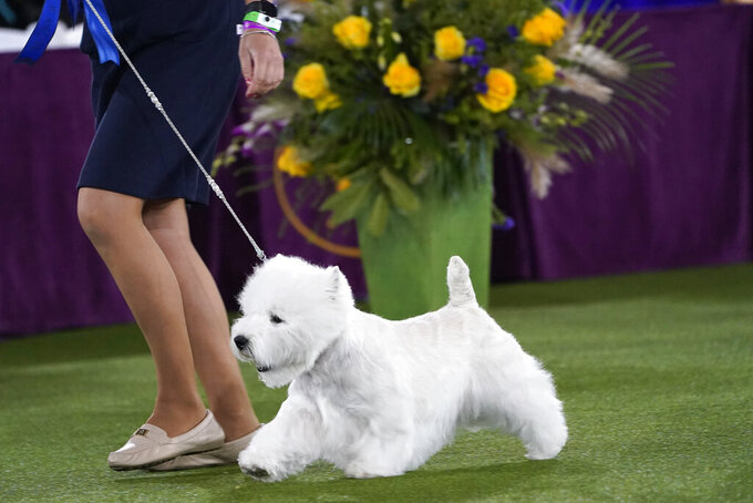 A West Highland white terrier named Boy leaves the ring after taking placing first in the terrier group at the Westminster Kennel Club dog show, Sunday, June 13, 2021, in Tarrytown, N.Y. (AP Photo/Kathy Willens)