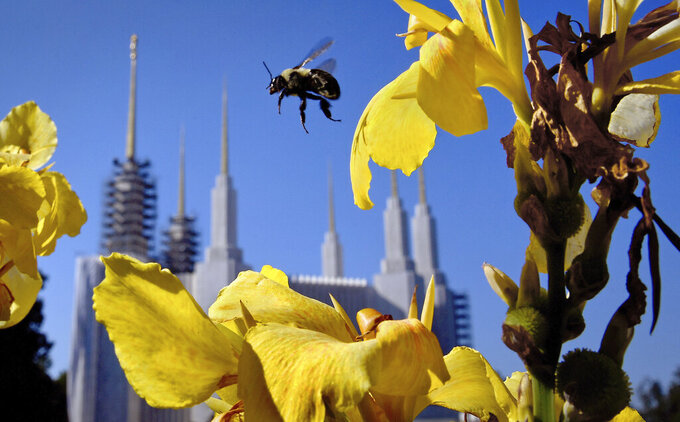 A bee buzzes from flower to flower on the grounds of the Washington D.C., Temple of The Church of Jesus Christ of Latter-day Saints in Kensington, Md., on Sept. 3, 2019. For the first time since 1974, church officials announced this week that members of the public will be allowed into the temple, which has been closed for renovations and improvements since early 2018. (Michael S. Williamson/The Washington Post via AP)