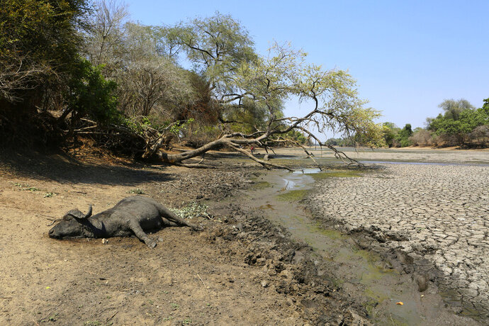 "In this Oct, 27, 2019, photo, the carcass of a buffalo lies on the edges of a sun baked pool that used to be a perennial water supply in Mana Pools National Park, Zimbabwe. Elephants, zebras, hippos, impalas, buffaloes and many other wildlife are stressed by lack of food and water in the park, whose very name comes from the four pools of water normally filled by the flooding Zambezi River each rainy season, and where wildlife traditionally drink. The word ""mana"" means four in the Shona language. (AP Photo/Tsvangirayi Mukwazhi)"