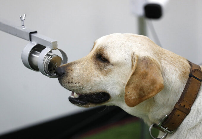 Bobby, a Labrador Retriever in training, sits front of a human sweat sample after detecting the COVID-19 coronavirus at the Veterinary Faculty of Chulalongkorn University in Bangkok, Thailand Friday, May 21, 2021.  Thailand has  deployed a canine virus detection squad to help provide a fast and effective way of identifying people with COVID-19 as the country faces a surge in cases, with clusters found in several crowded slum communities and large markets. (AP Photo/Sakchai Lalit)