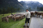 A Bavarian herdsman rests as he drives his beasts on a road during the return of the cattle from the summer pastures in the mountains near Bad Hindelang, Germany, Wednesday, Sept. 11, 2019. In autumn, herds fed on alpine pastures in the mountains during summer, are led down to the valley where they spend the winter. (AP Photo/Matthias Schrader)
