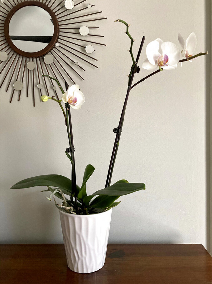 An orchid purchased at Trader Joe's grocery store that has rebloomed is pictured on March 4, 2021, in Atlanta. Once the flowers on an orchid die, though it's tempting to toss the plant, that orchid can bloom again. (AP Photo/Ali Kaufman)