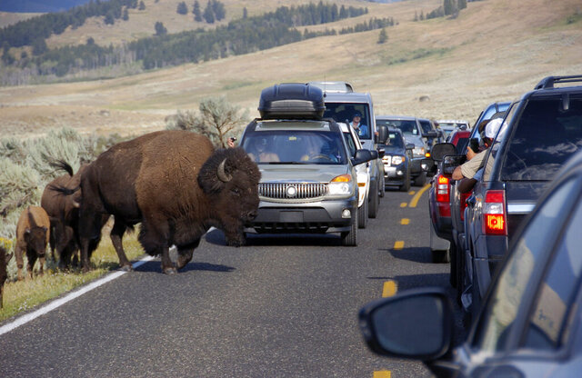 FILE - In this Aug. 3, 2015 file photo, a large bison blocks traffic as tourists take photos of the animals in the Lamar Valley of Yellowstone National Park. The coronavirus outbreak will reduce Chinese travel to Yellowstone National Park, according to tourism officials, but the impact will be small compared to the national effect.  (AP Photo/Matthew Brown, File)