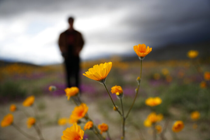 In this Wednesday, March 6, 2019, photo, a man looks on amid wildflowers in bloom near Borrego Springs, Calif. Two years after steady rains sparked seeds dormant for decades under the desert floor to burst open and produce a spectacular display dubbed the