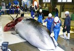 A whale is brought to shore to be processed in Kushiro, in the northernmost main island of Hokkaido, Monday, July 1, 2019. Japan is resuming commercial whaling after 31 years, meeting a long-cherished goal seen as a largely lost cause. Japan's six-month notice to withdraw from the International Whaling Commission took effect Sunday.(Masanori Takei/Kyodo News via AP)