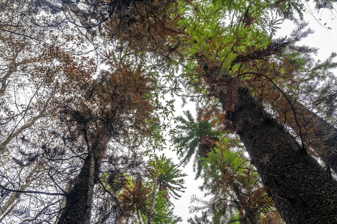 In this photo taken early January 2020, and provided Thursday, Jan. 16, 2020, by the NSW National Parks and Wildlife Service, Wollemi pines tower above the forest floor in the Wollemi National Park, New South Wales, Australia. Specialist firefighters have saved the world's last remaining wild stand of a prehistoric tree from wildfires that razed forests west of Sydney. (NSW National Parks and Wildfire Service via AP)
