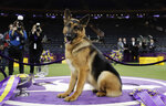 FILE - In this Feb. 15, 2017, file photo, Rumor, a German shepherd, poses for photos after winning Best in Show at the 141st Westminster Kennel Club Dog Show, in New York. The American Kennel Club's second most popular U.S. full bred dog for 2018 is the German shepherd. (AP Photo/Julie Jacobson, File)