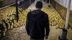 FILE - In this July 18, 2019, file photo, Marcus Henley, operations manager for Hudson Valley Foie Gras duck farm, tours a barn in Ferndale, N.Y., of new arrival ducklings. The sale of foie gras in New York City is about to be a faux pas. City council members on Wednesday, Oct. 30, are expected to pass a bill that bans the sale of fattened liver of a duck at restaurants, grocery stores or shops. (AP Photo/Bebeto Matthews, File)