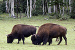 This undated photo provided by hunting guide Russ Jacoby shows bison in far northern Arizona. In the two years since Grand Canyon National Park approved a plan to reduce the bison herd, it has grown in size. (Russ Jacoby via AP)