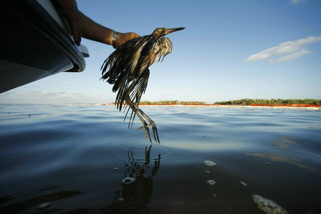 FILE - In this June 26, 2010 file photo, Plaquemines Parish Coastal Zone Director P.J. Hahn rescues a heavily oiled bird from the waters of Barataria Bay, La. The Trump administration wants to end the criminal penalties under the Migratory Bird Treaty Act to pressure companies into taking measures to prevent unintentional bird deaths. Critics including top Interior Department officials from Republican and Democratic administrations say the proposed change could devastate threatened and endangered species and accelerate a bird population decline across North America since the 1970s. (AP Photo/Gerald Herbert, File)