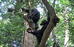 In this photo provided by the Max Planck Institute wild chimpanzees eat tortoises, whose hard shells was cracked against tree trunks before scooping out the meat at the Loango National Park on the Atlantic coast of Gabon, May 20, 2019. Researchers from the Max Planck Institute for Evolutionary Anthropology in Leipzig and the University of Osnabrueck said Thursday they spotted the unusual behavior dozens of times in a group of chimpanzees at Loango National Park in Gabon. (Nadia Balduccio/Max Planck Institute via AP)