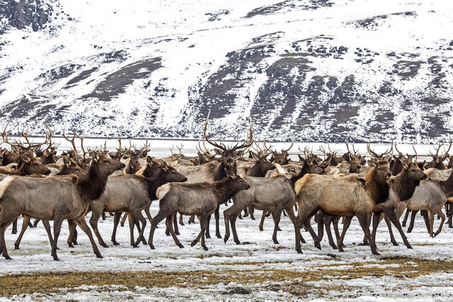 FILE - In this Feb. 21, 2017, file photo, elk make their way to the feed line on the National Elk Refuge north of Jackson, Wyo. A former federal wildlife health chief says the National Elk Refuge's plans to reduce feeding are