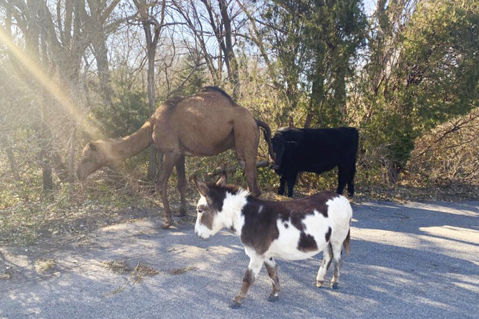 This Nov. 17, 2019 photo provided by the Goddard Police Department shows a camel, donkey and a cow found roaming together along a road near Goddard, Kan. After the police asked for help over social media, authorities have learned the animals belonged to an employee of the nearby Tanganyika Wildlife Park. (Devon Keith/Goddard Police Department via AP)