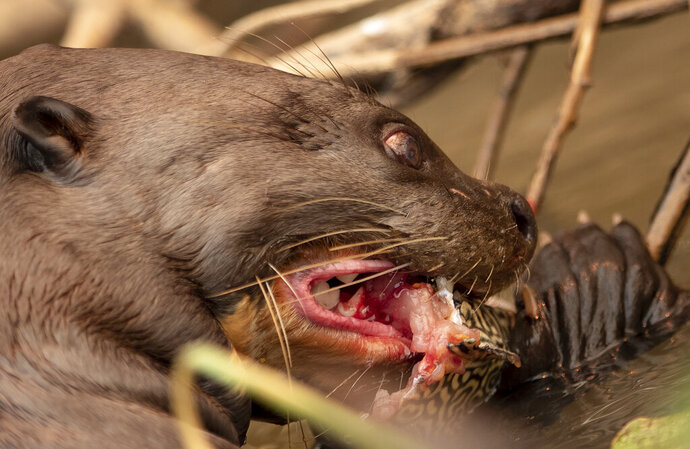 An otter chomps on a fish at the Encontro das Aguas state park in the Pantanal wetlands near Pocone, Mato Grosso state, Brazil, Saturday, Sept. 12, 2020. The Pantanal is the world's largest tropical wetlands, popular for viewing jaguars, along with caiman, capybara, otters and more. This year the Pantanal is exceptionally dry and burning at a record rate. (AP Photo/Andre Penner)