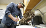 In this photo taken in the early morning hours of Oct. 24, 2018, wildlife technician Jordan Hazan records data in a lab in Corvallis, Ore., from a male barred owl he shot earlier in the night. The owl was killed as part of a controversial experiment by the U.S. government to test whether the northern spotted owl's rapid decline in the Pacific Northwest can be stopped by killing its larger and more aggressive East Coast cousin, the barred owl, which now outnumber spotted owls in many areas of the native bird's historic range. (AP Photo/Ted S. Warren)