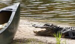 FILE- In this Aug 2, 2007 file photo, an alligator hangs around the canoes at Okefenokee Adventures at the entrance to the Okefenokee Swamp in Charlton County, Ga. A battle over whether to allow mining near the vast wildlife refuge in the Okefenokee Swamp rests with Georgia state regulators after federal agencies declared they no longer have oversight. (Chris Viola/The Florida Times-Union via AP, File)