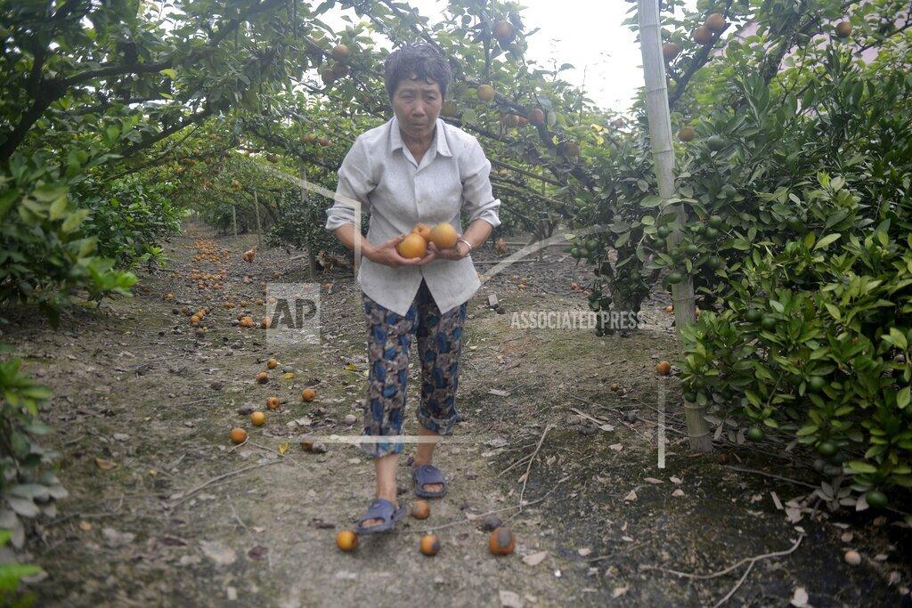 CHINA TYPHOON LEKIMA FRUIT PRODUCTION LOSS ZHEJIANG