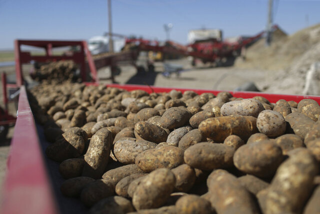 FILE - In this Sept. 19, 2018 file photo, potatoes run down a conveyor belt at Brett Jensen Farms outside of Idaho Falls, Idaho. U.S. officials have released a new plan involving methods to deal with a microscopic pest in southeastern Idaho that threatens the state's billion-dollar potato industry that supplies a third of the nation's potatoes. The U.S. Department of Agriculture late last week released the final rule that sets out criteria for killing off pale cyst nematodes and reopening quarantined fields to production.. (John Roark/The Idaho Post-Register via AP, File)