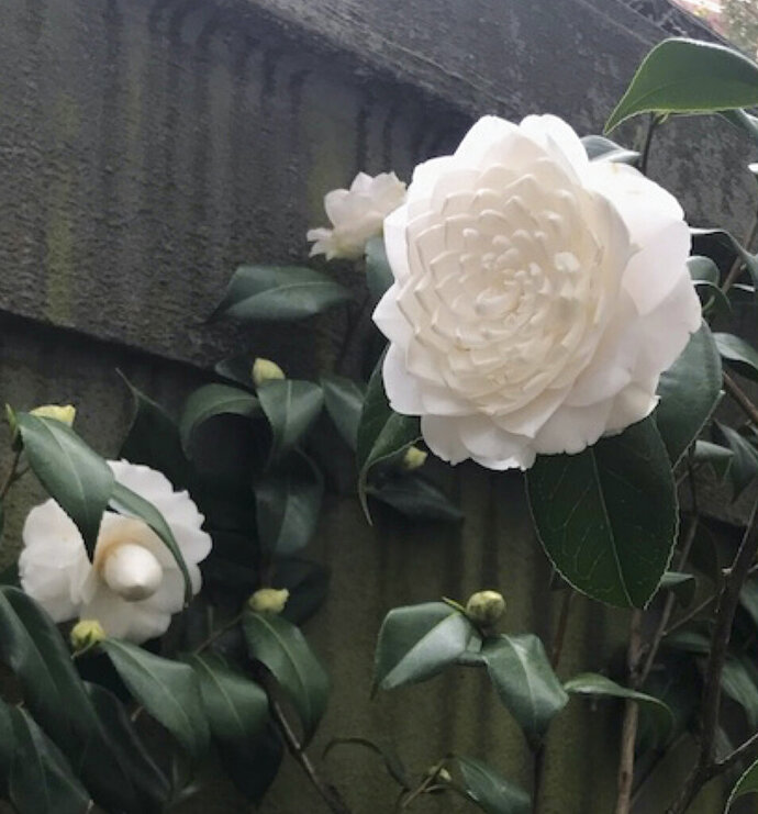 This undated photo shows a camellia blossom in Charleston, S.C. Thanks to the work of plant breeders, camellias can now be grown in gardens further north than previously possible. (Lee Reich via AP)