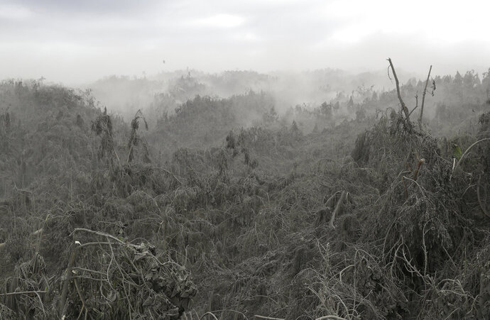Clouds of volcanic ash rise up from damaged trees in Laurel, Batangas province, southern Philippines on Tuesday, Jan. 14, 2020. Taal volcano is spewing lava half a mile high and trembling with earthquakes constantly as thousands of people flee villages darkened and blanketed by heavy ash. (AP Photo/Aaron Favila)