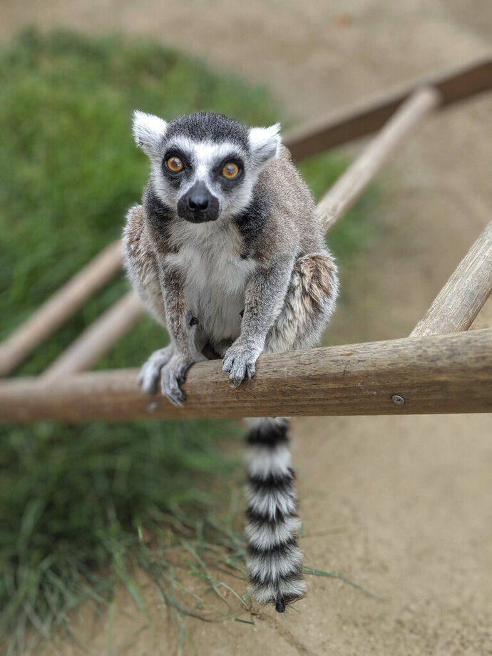 This undated photo provided by the Santa Ana Zoo shows a ring-tailed lemur at the Santa Ana Zoo in Santa Ana, Calif. Federal prosecutors say a man has agreed to plead guilty in the theft of the ring-tailed lemur from the Southern California zoo. The U.S. Attorney's Office says 19-year-old Aquinas Kasbar of Newport Beach agreed to plead guilty to one misdemeanor count of unlawfully taking an endangered species. (Santa Ana Zoo via AP)