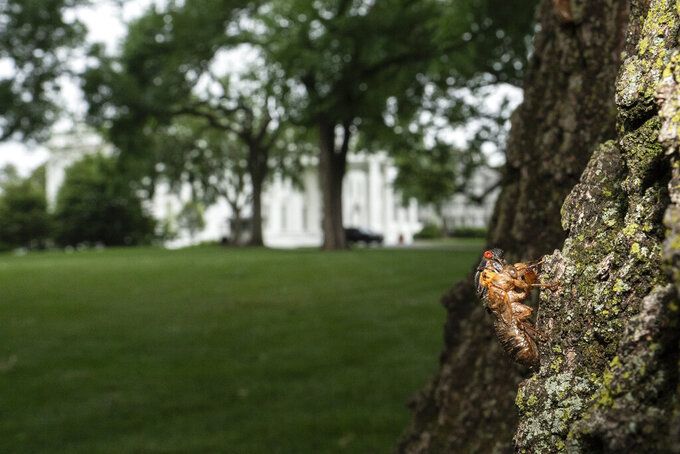 A Brood X cicada that failed to shed its nymphal skin is seen on a tree on the North Lawn of the White House in Washington, Tuesday, May 25, 2021.  Reporters traveling to the United Kingdom ahead of President Joe Biden's first overseas trip were delayed seven hours after their chartered plane was overrun by cicadas. The Washington, D.C., area is among the many parts of the country confronting the swarm of Brood X, a large emergence of the loud 17-year insects that take to dive-bombing onto moving vehicles and unsuspecting passersby. Weather and crew rest issues also contributed to the flight delay.(AP Photo/Carolyn Kaster)