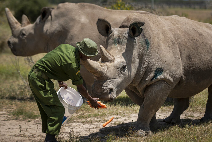 FILE - In this Friday, Aug. 23, 2019, file photo, female northern white rhinos Fatu, right, and Najin, left, the last two northern white rhinos on the planet, are fed some carrots by a ranger in their enclosure at Ol Pejeta Conservancy, in Kenya. Although scientists have long focused on the world's predators, a massive new study finds that herbivores, critters that eat plants, are the animals most at risk of extinction. A bit more than one in four species of herbivores are considered threatened, endangered or vulnerable by the International Union for Conservation of Nature, the world's scientific authority on extinction risk, according to a study published Wednesday, Aug. 5, 2020, in the journal Science Advances. (AP Photo/Ben Curtis, File)